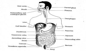 Study Notes on Digestion and Absorption