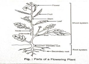 Morphology of Flowering Plants Notes