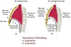 Study Notes on Breathing and Exchange of Gases
