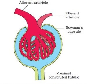 Excretory products and their eliminations