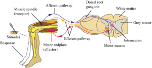 Study Notes on Neural Control and Coordination