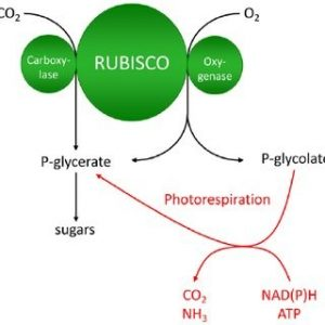 Study notes on Photosynthesis in Higher Plants