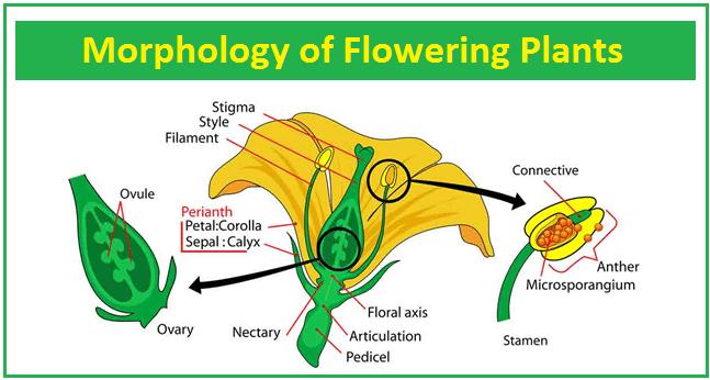 Morphology of Flowering Plants Part II