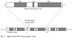 RNA Polymerase I genes: The ribosomal repeat