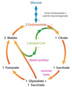 Electron transport, oxidative phosphorylation and β-oxidation of fatty acids