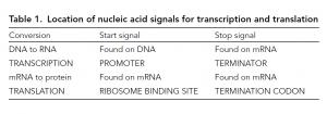 Messenger RNA and translation
