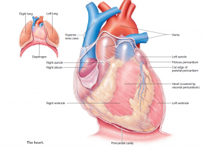 The Cardiovascular and Lymphatic Systems and Their Defenses