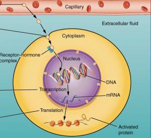 Mechanism of Hormonal action in intracellular Receptors