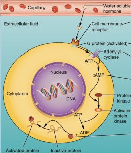Mechanism of Hormonal action in Extracellular Receptors