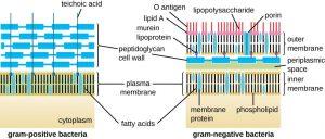 Bacterial Envelope: Gram Positive and Gram Negative Envelope