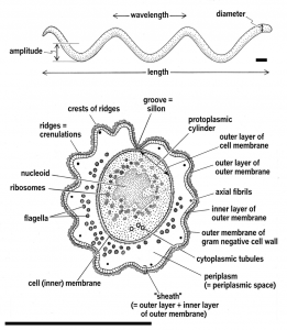 Morphology and Ultrastructure of Spirochetes