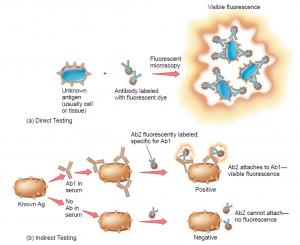 Immunofluorescence Testing