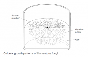 Fungal structure and growth