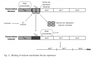 Binding of inducer inactivates lac operon