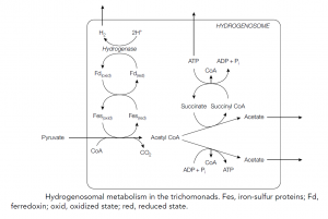 Nutrition and metabolism of Archaeplastida, Excavata, Chromalveolata, and Amoebozoa