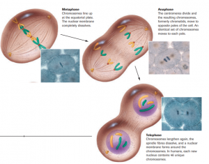 Cell Cycle (Mitosis)