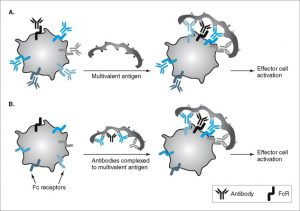 Activation of Effector Cells