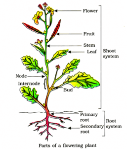 Morphology of root system