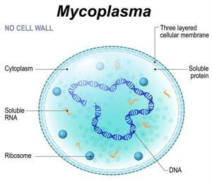 Morphology and Ultrastructure of Mycoplasmas
