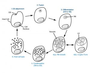 Morphology and Ultrastructure of Chlamydiae