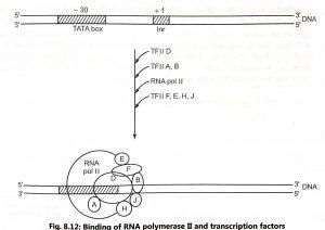 Transcription in Eukaryotes