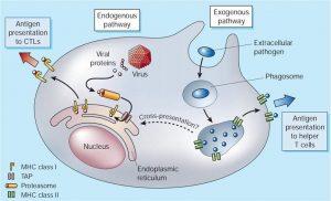Antigen Presentation