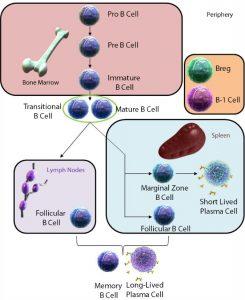 B Lymphocytes: Development and Functions