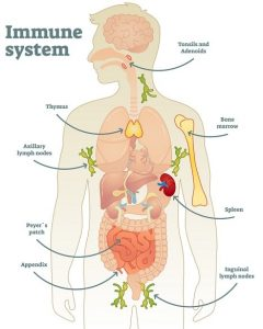 Structure of Immune System
