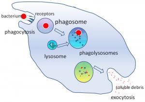 Phagocytes and Phagocytosis