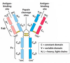 Antigens: Structure and Main Properties
