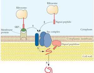 Protein Secretion Pathways