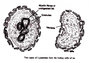 Kinds Of Lysosomes