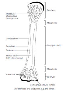 Bone And Connective Tissue In The Vertebrate Skeleton