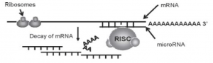 Regulation of transcription and translation of proteins by miRNA