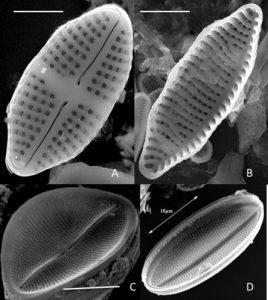 Class: Bacillariophyceae