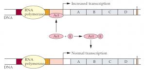 Regulation| mRNA Transcription in Eukaryotes