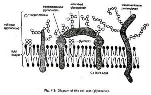 Cell Coat and its function