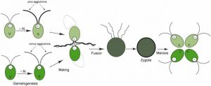 Reproduction in Algae