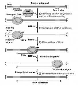 Process of gene expression