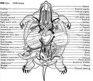 Class Reptilia- Turtles