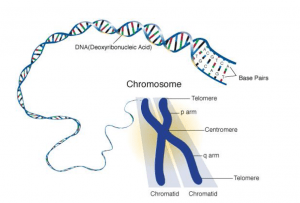 Chromosome Size, Shape and Structure