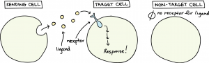 Cell Signalling its types and mechanism of action