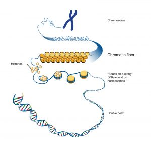 Chromatin and its types