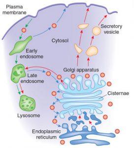 Transport From Golgi apparatus to Lysosomes