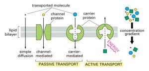 Principles of Membrane Transport