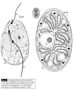 Glaucophyta