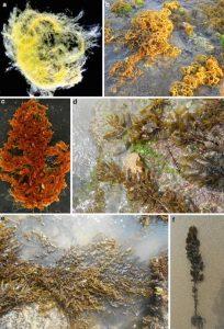 Class: Phaeophyceae