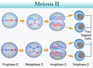 Cell Cycle (Meiosis)