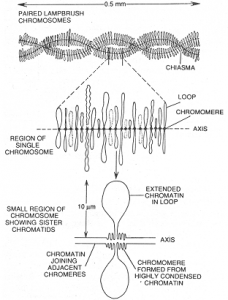 Giant Chromosomes