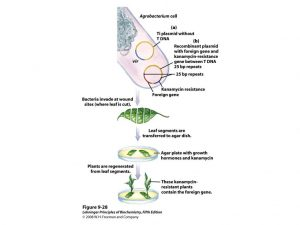 Transformation of T DNA